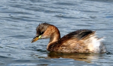 Grebe_castagneux
