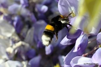 Bourdon en quête de pollen dans la glycine