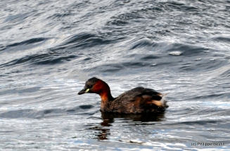 grebe_castagneux_2